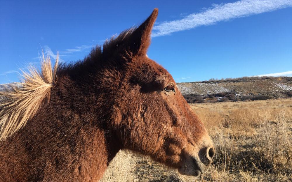 Marlboro Man Mule